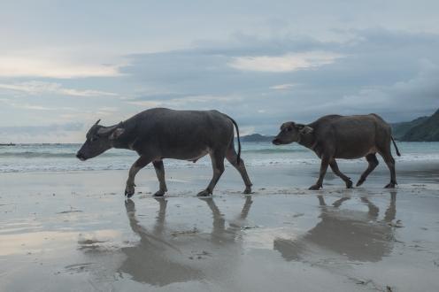 Buffalo_beach_lombok_indonesia_Travel_Photographer